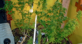 hodowal-marihuane